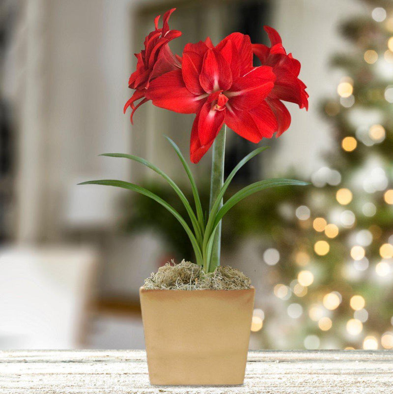Amaryllis Red Peacock Gift in a Square Ceramic Planter