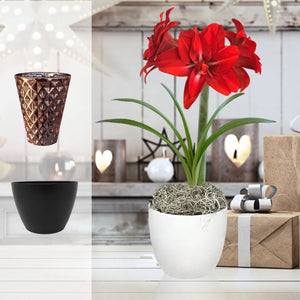 Amaryllis Red Peacock Gift in a Round Planter - Free Shipping