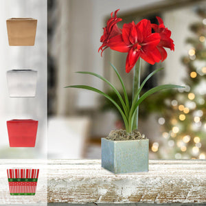 products/Amaryllis_Red_Peacock__Seaglass_Square__Parent_DD.SHUT.jpg