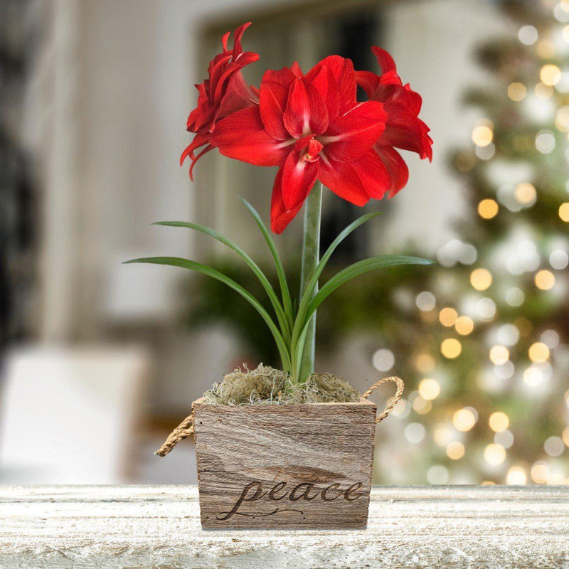 Amaryllis Red Peacock Gift in a Reclaimed Wood Cube