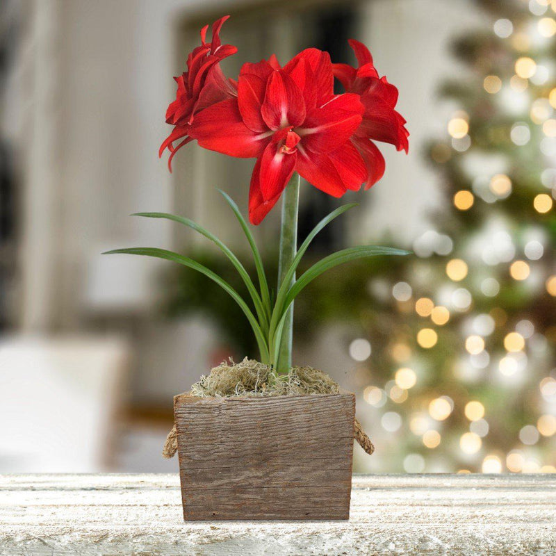 Amaryllis Red Peacock Gift in a Reclaimed Wood Cube - Free Shipping