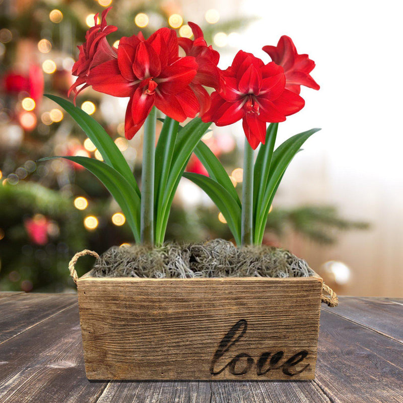 Amaryllis Red Peacock Gift Duo in a Reclaimed Wood Planter - Free Shipping
