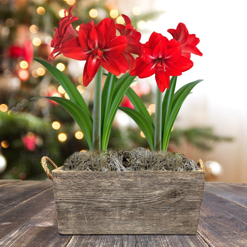 Amaryllis Red Peacock Gift Duo in a Reclaimed Wood Planter