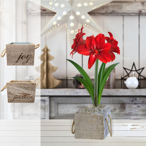 products/Amaryllis_Red_Peacock__Wood_Square__Parent_DD.SHUT.jpg