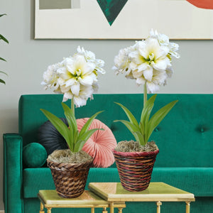 Amaryllis Snow Drift Gift in a Basket (Single) - Free Shipping