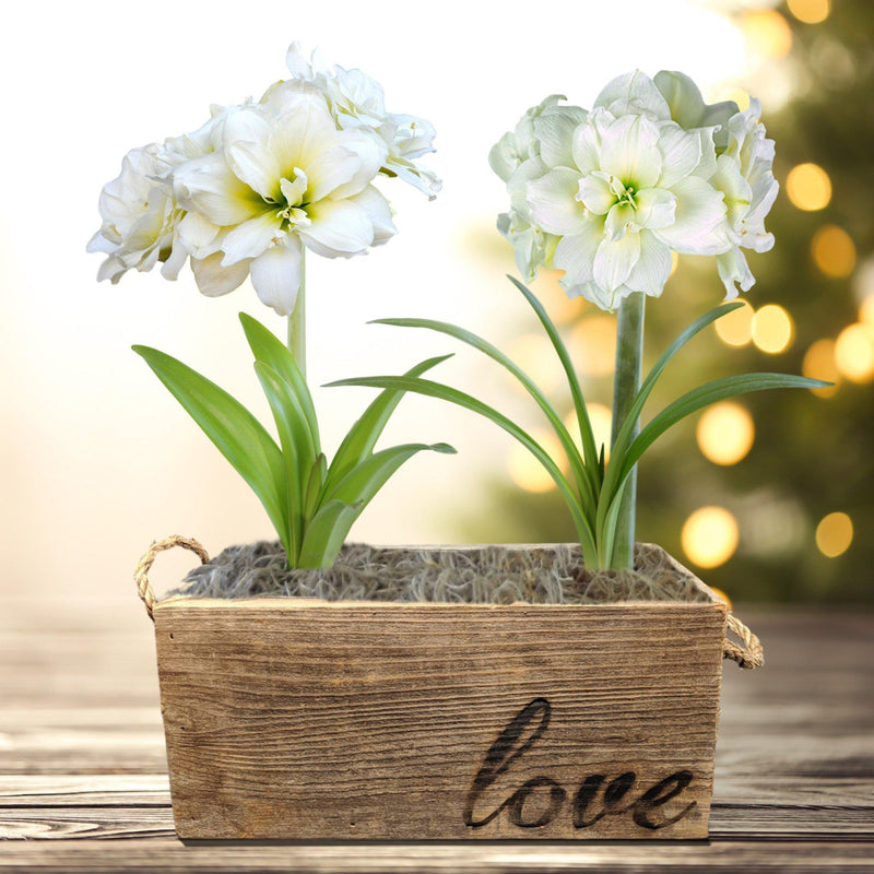 Amaryllis Snow Drift Gift Duo in a Reclaimed Wood Planter - Free Shipping