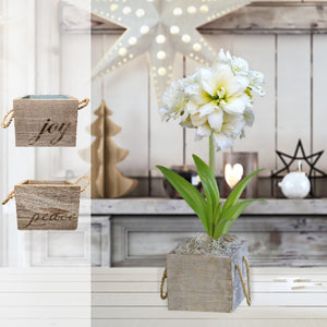 products/Amaryllis_Snowdrift__Wood_Square__Parent_DD.SHUT.jpg