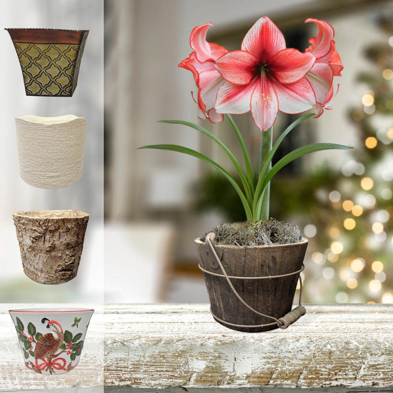 Amaryllis Temptation Gift in a Planter - Free Shipping