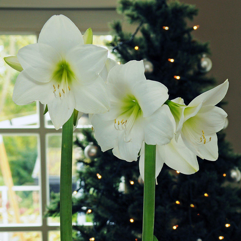 blooming white christmas amaryllis