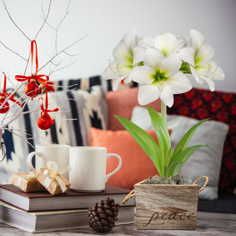 Amaryllis White Christmas Gift in a Reclaimed Wood Cube - Free Shipping
