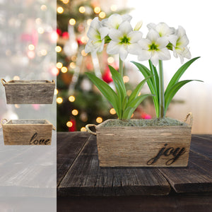 Amaryllis White Christmas Gift Duo in a Reclaimed Wood Planter