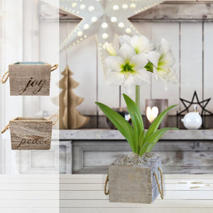 Amaryllis White Christmas Gift in a Reclaimed Wood Cube