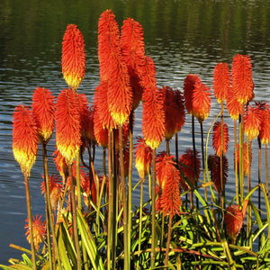 Kniphofia caulescens Caulescent red-hot poker Young plant in 9cm pot