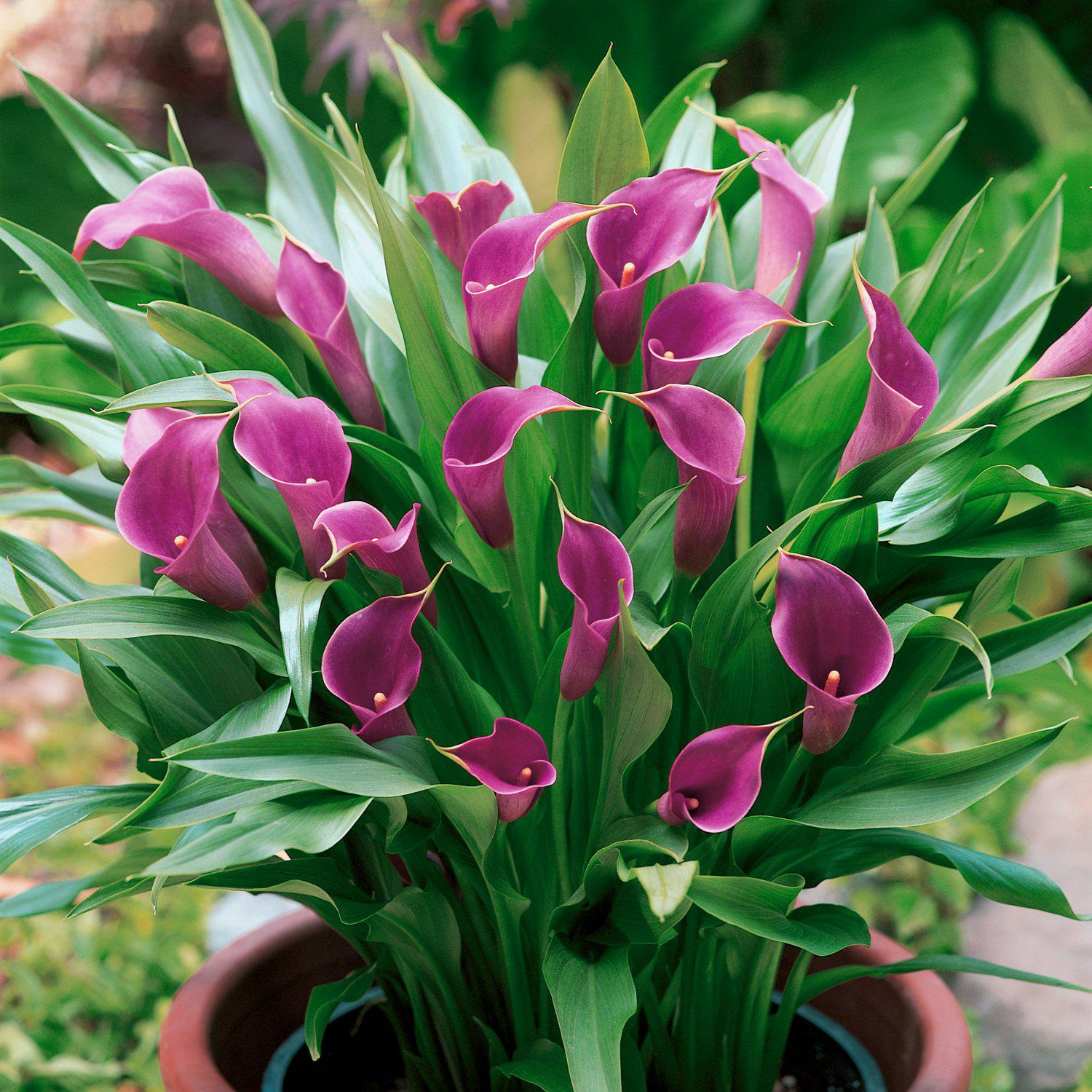 Purple Calla Lily Bulbs For Sale Zantedeschia Amethyst Easy To