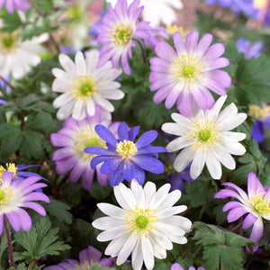 Pink, purple, white anemone flowers