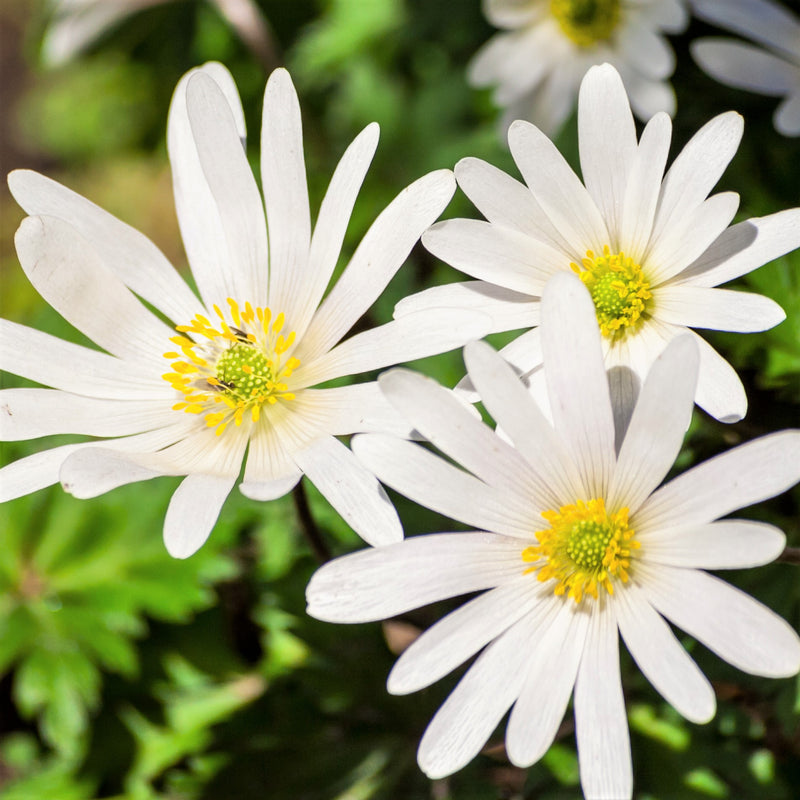 White Anemone Flowers Blooming