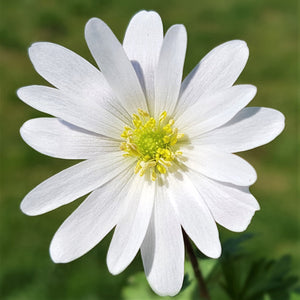 products/Anemone_Blanda_Sparkling_White_2_.SHUT.jpg
