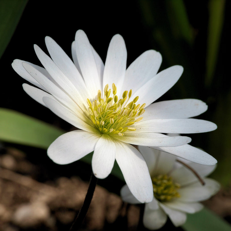 White Early Blooming Anemone Flower