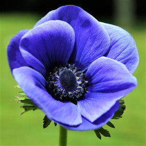 "The bold ""Blue Poppy"" Anemone with a striking black eye"
