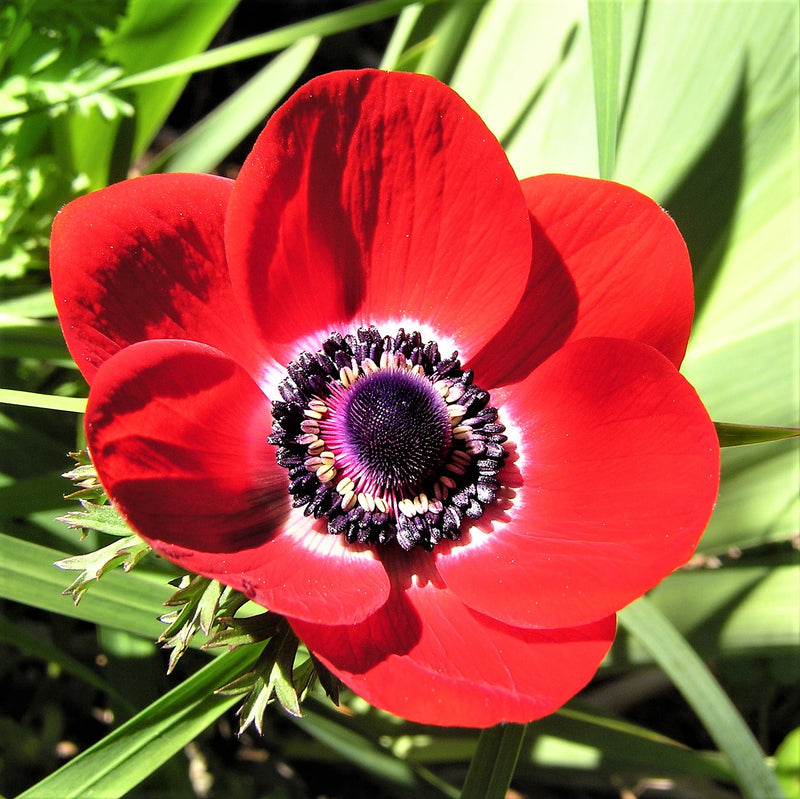 Anemone His Excellency