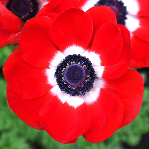 Red and White Anemone His Excellency Flower