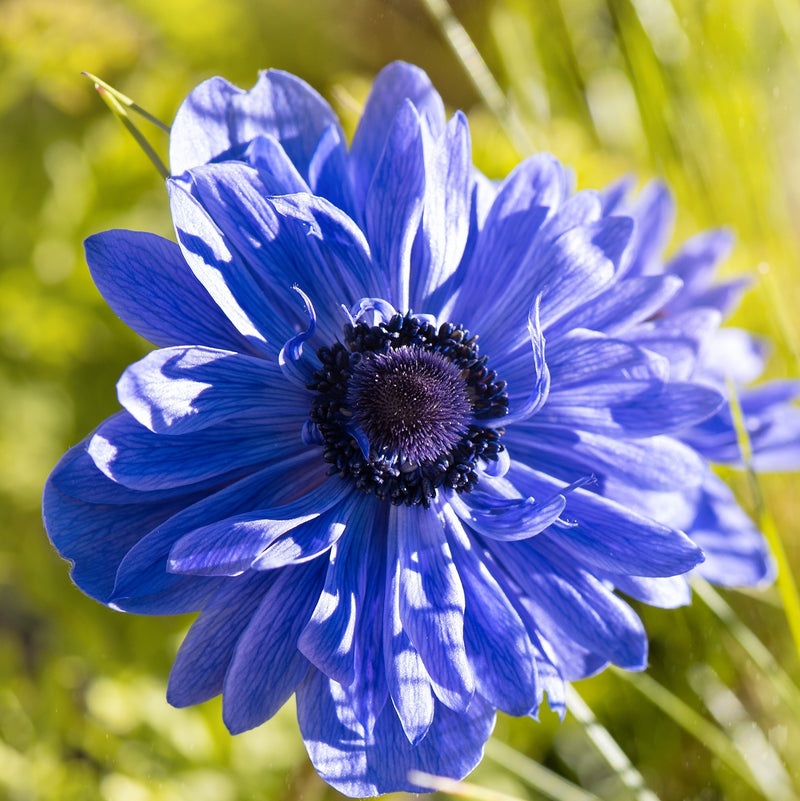 Double Blue Anemone Flower