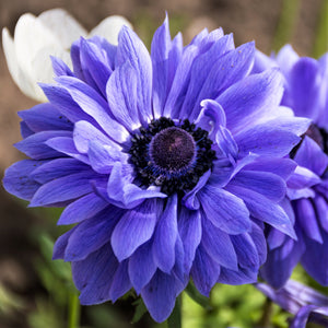 Beautiful Blue Anemone Bulbs For Sale | Lord Lieutenant