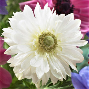 Double White Anemone Flower | Mount Everest