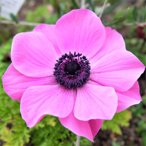 Anemone Rosea Bulbs | Pink Anemone with Black Center