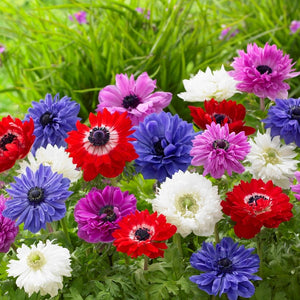 Double Mixed Color Anemone Flowers | St. Brigid Mix