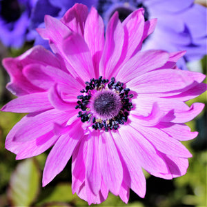Double Pink Anemone Flower | The Admiral