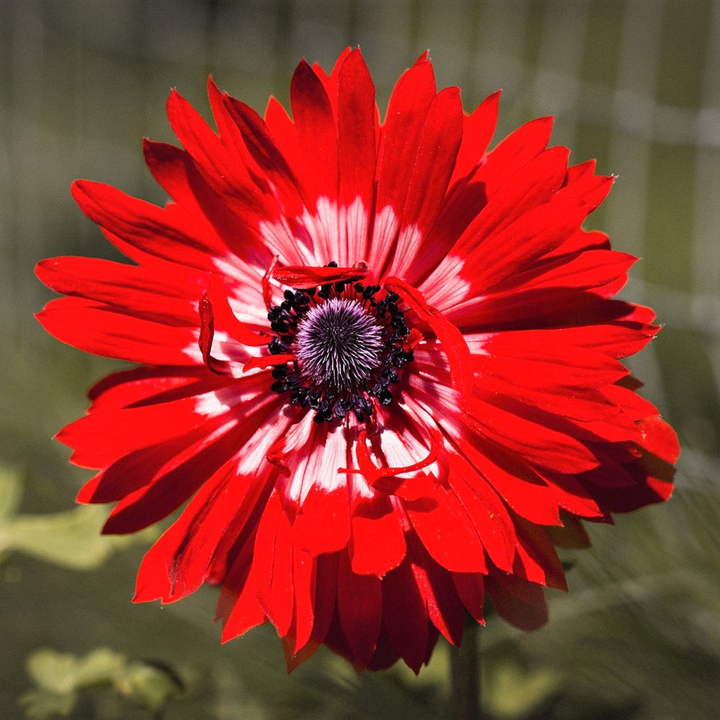Double Red Anemone Bulbs For Sale Online   The Governor – Easy To ...
