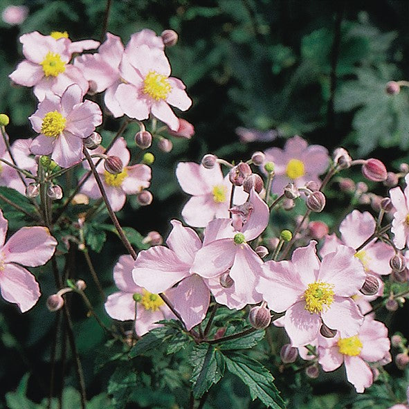 Anemone Tomentosa Robustissima Easy To Grow Bulbs