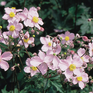 products/Anemone_Tomentosa_Robustissima.GC.jpg