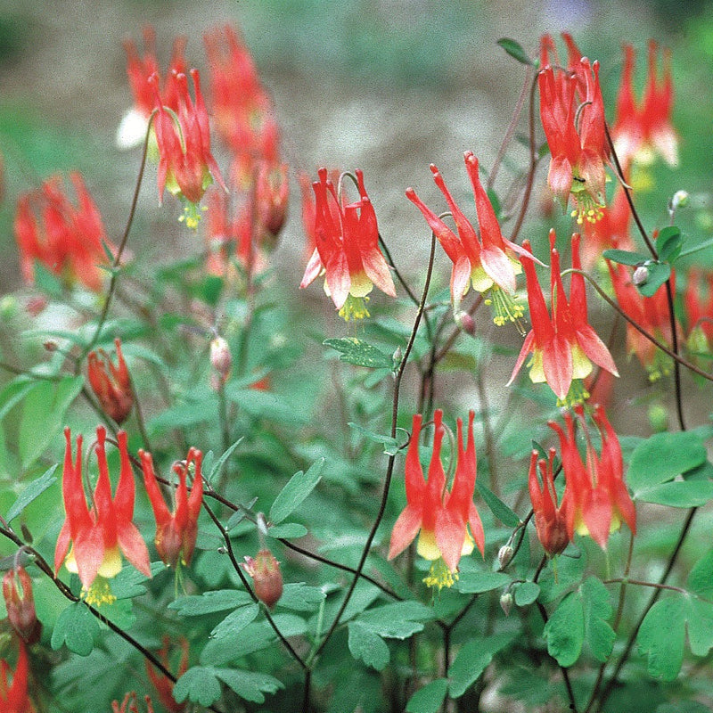 Columbine Little Lanterns