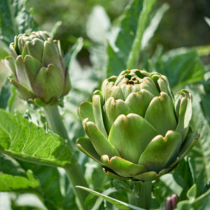 products/ArtichokePlant_square_SHUT.jpg