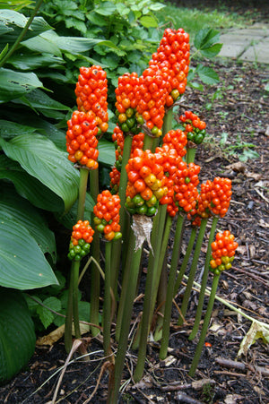 products/Arum_italicum.DV.jpg