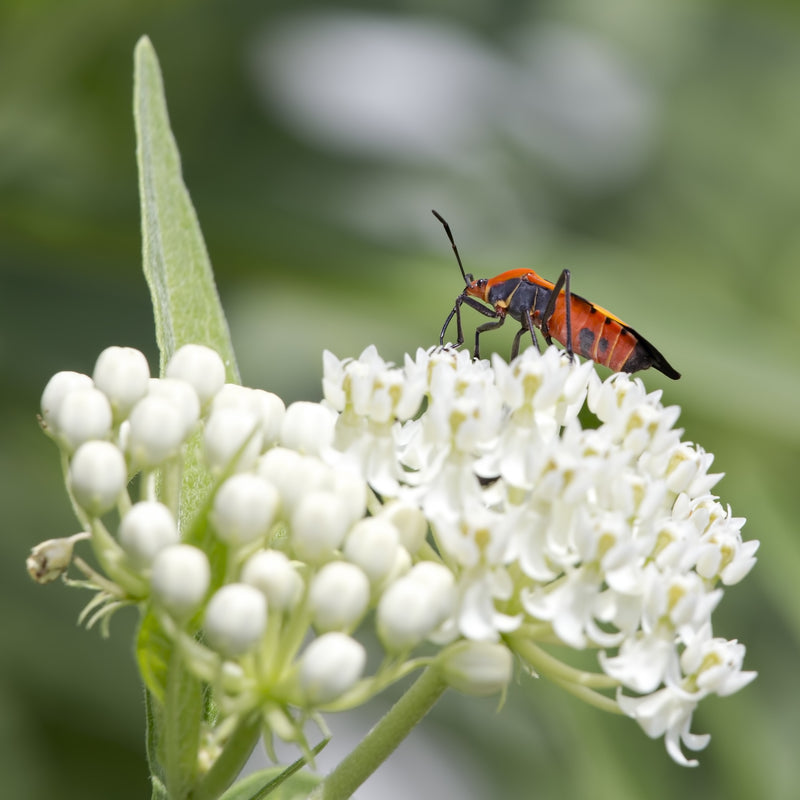 White Butterfly Milkweed Plant