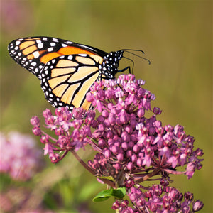 Asclepia incarnata (Butterfly Weed) Soulmate