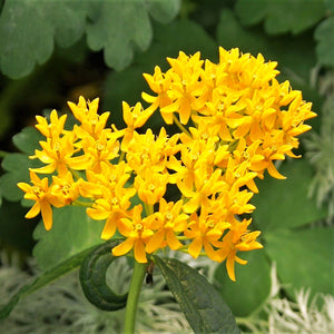Asclepia tuberosa (Butterfly Weed) Hello Yellow