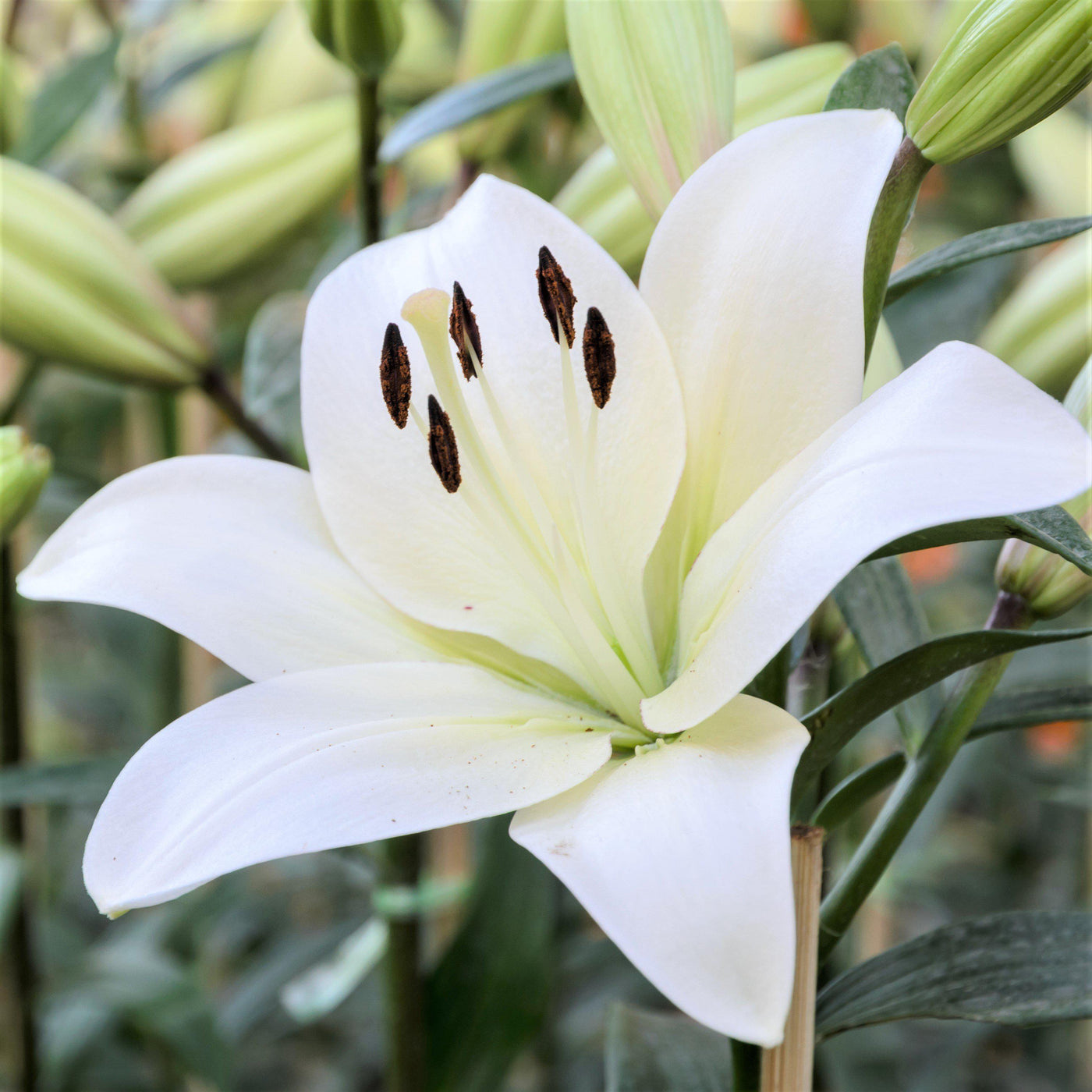 Lily la hybrid richmond fragrant asiatic lily white asiatic lily la hybrid richmond fragrant izmirmasajfo