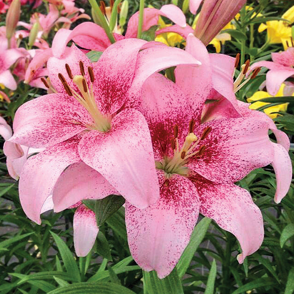 Pink Tango Lily Flowers