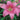 Pink Tango Lily Flower | bulbs for sale
