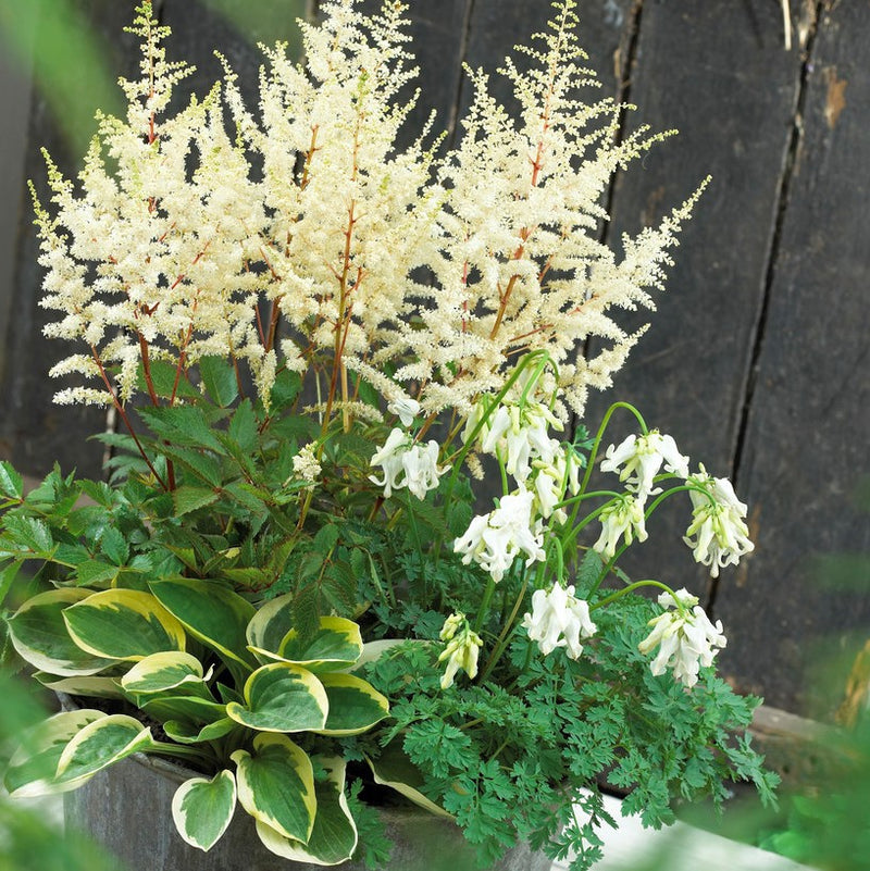 Fairytale Astilbe, Dicentra & Hosta Collection