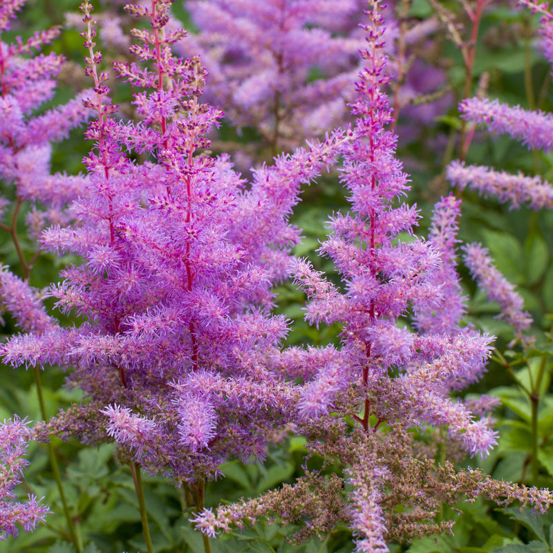 Astilbe Purple Lance