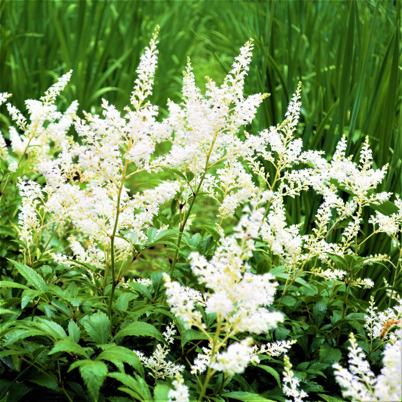 Astilbe Younique™ White