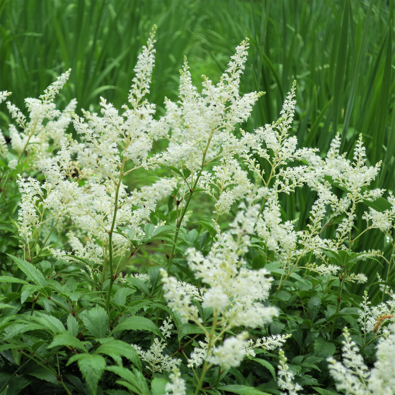 Astilbe Luminous Shade Collection