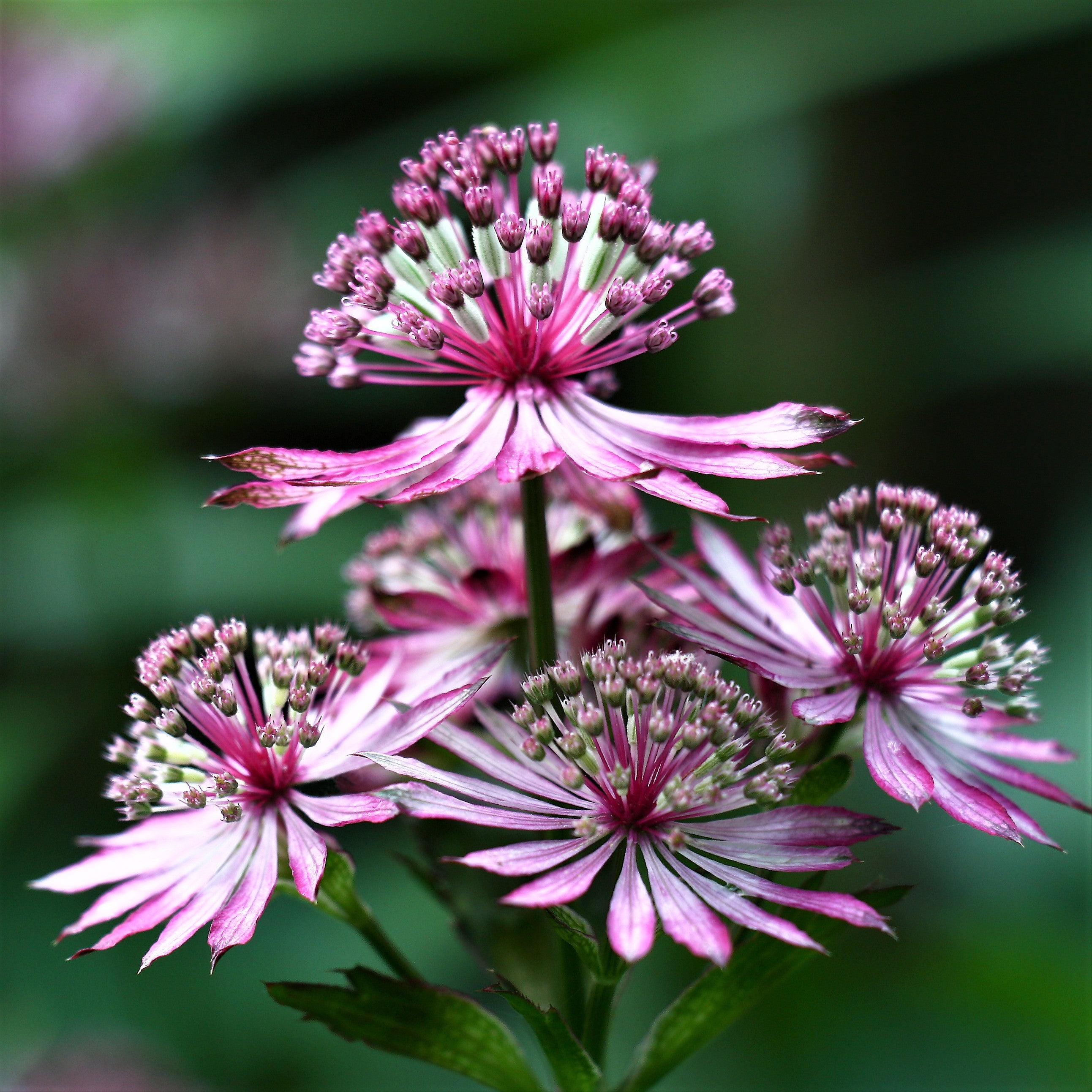 Astrantia Abbey Road Great Masterwort Abbey Road