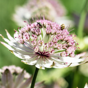 Closeup on single astrantia sunningdale variegated flower
