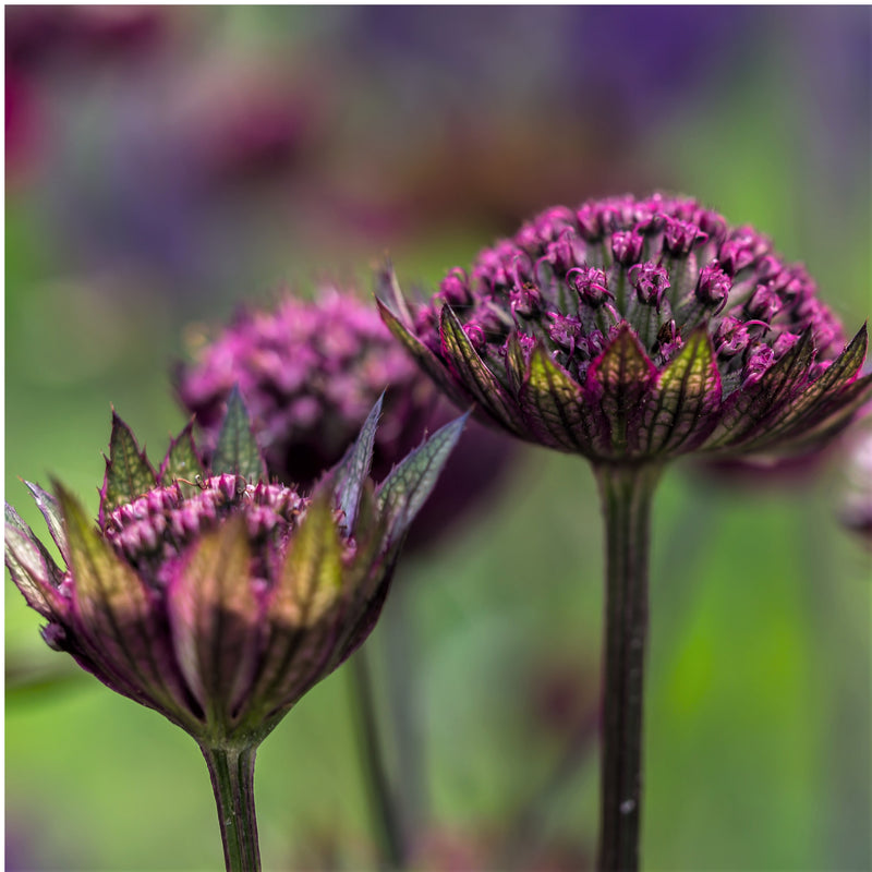 Beautiful Magenta Astrantia Venice Flower